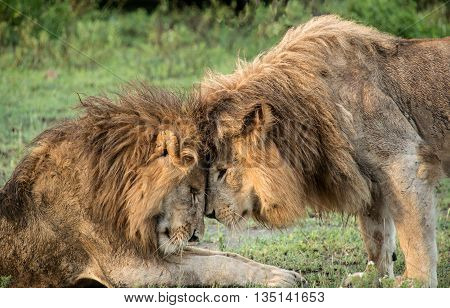 Two male lions greet affectionately on the Serengeti