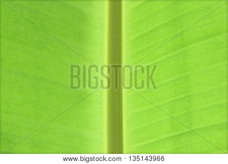 Banana leaves green for background or texture
