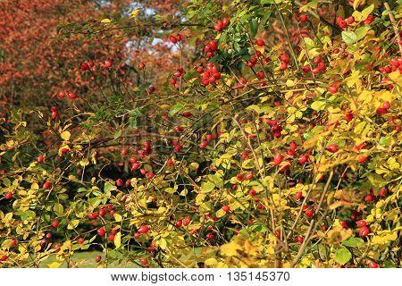 Brier Plant Background