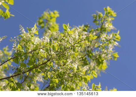 blooming bird cherry in the spring close up