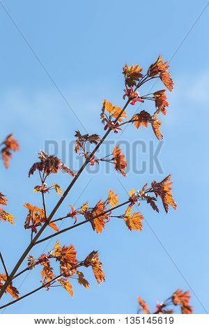 maple tree branch in the spring against the sky