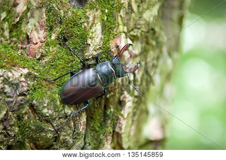 Lucanus cervus. Stag beetle sitting in a tree. Tree overgrown with moss . Close-up. Summer. Macro photography