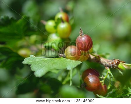 gooseberries on branches in garden in summer