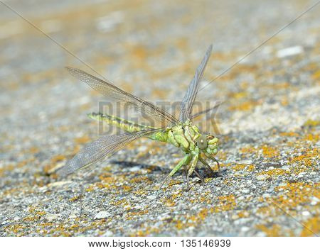 Green dragonfly (Ophiogomphus cecilia) in natural habitat