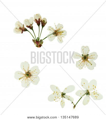 Pressed and dried flower cherry-tree. Isolated on white background. For use in scrapbooking pressed floristry (oshibana) or herbarium.