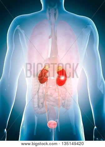 3d rendered, medically accurate 3d illustration of the human urinary system