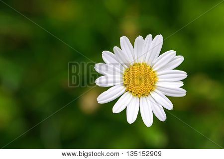 Single Oxeye daisy flower in yellow and white color with blurred green meadow during summer in Austria, Europe