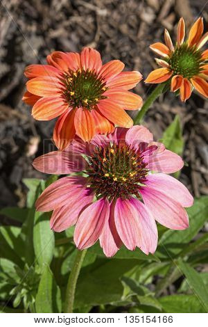 Coneflowers (echinacea) bloom in beautiful pastel shades in the perennial garden.