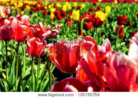 Closeup view of vibrant red Tulips in Woodburn Oregon