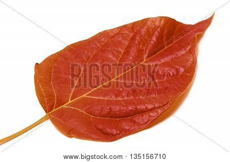 Autumn Leaf Isolated On White