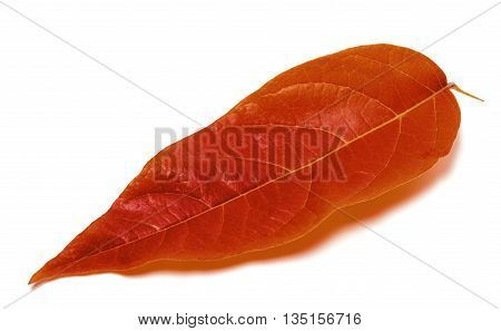 Autumnal Leaf On White Background