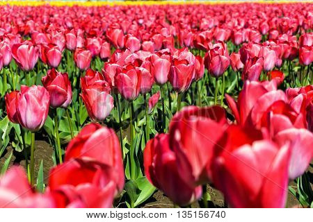 Closeup view of red tulips in a field in Woodburn Oregon