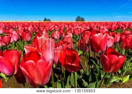 Low angle view a beautiful red tulips in a field