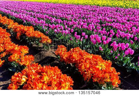 Beautiful view of a field of purple and orange tulips