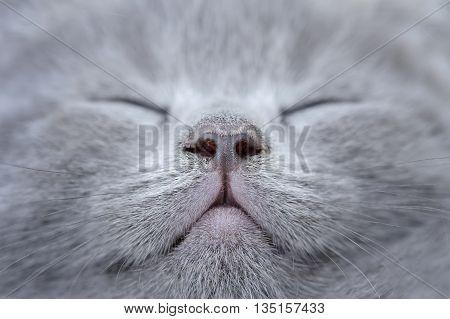 Close Gray Kitten Portrait