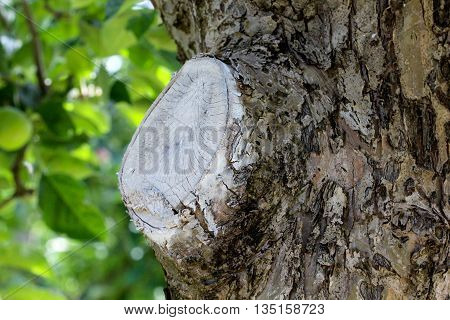 picture of a protected apple tree wound after pruning