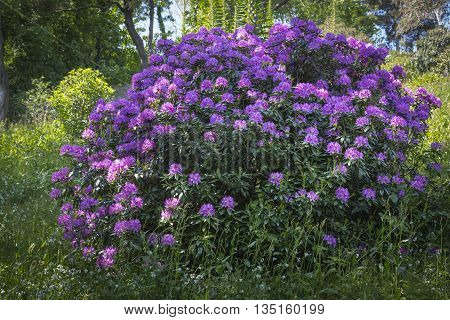 Large Rhododendron flower bush in a garden