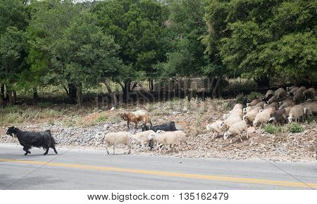 Goats Crossing Mountain Street Of Crete