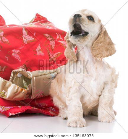 female american cocker spaniel puppy sitting on white background