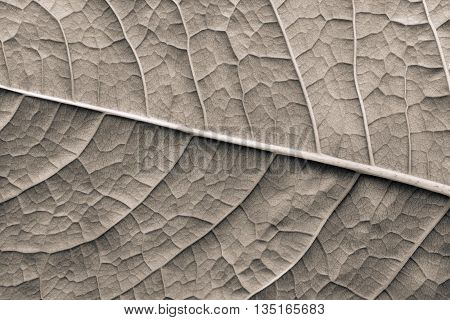 texture of a surface of a leaf of a plant with streaks closeup for a abstract natural natural background or for wallpaper of beige color
