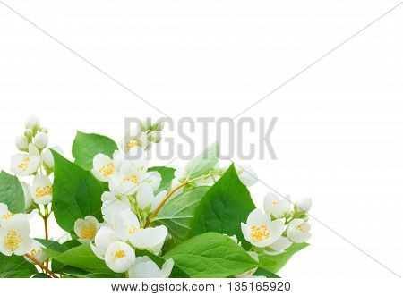 Jasmine flowers and leaves isolated on white background
