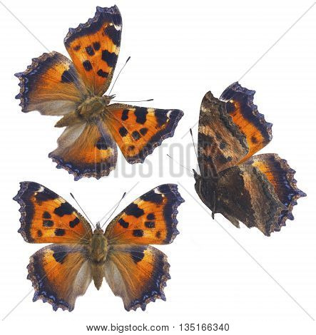 set of small tortoiseshell butterfly isolated on white background