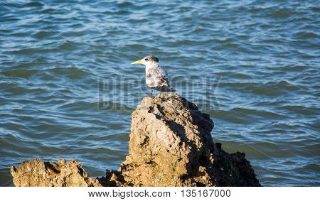 Crested tern standing on the coastal rocks along the Murchison River bank in Kalbarri, Western Australia.