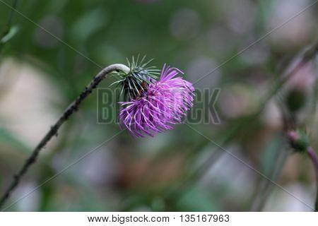 Flower of the alpine thistle (Carduus defloratus)