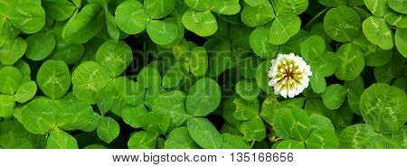 Green clover leaves background.Close up of field of shamrocks .