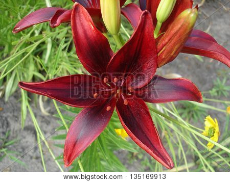 Asiatic hybrid lily 'Blackout' dark-scarlet-red flower .