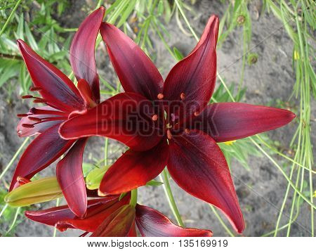 Asiatic hybrid lily 'Blackout' dark-scarlet-red flowers .