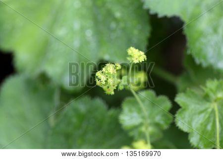 Macro photo of garden lady mantle (Alchemilla mollis) flowers.