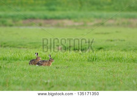 Running hares in the fields