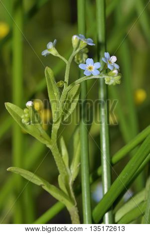 Water Forget-me-not - Myosotis scorpioides A Wetland Forgetmenot