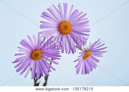 Aster amellus flower closeup. Close view of purple aster flower at blue background. Violet Aster daisy alike bouquet. Flower background.
