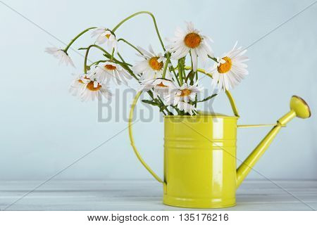 Beautiful daisies bouquet in green watering can at blue background. Flower bouquet in vase, floral background. Natural daisy flowers closeup. Camomile flower.
