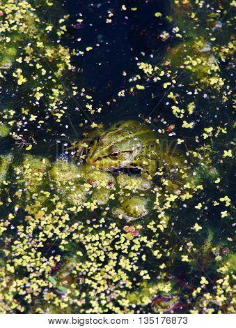 Green frog in green pond in green water flower