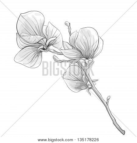 beautiful monochrome black and white twig blossoming magnolia tree. flower isolated. Hand-drawn contour lines and strokes.