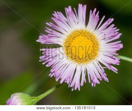 A blooming Philadelphia Fleabane (Erigeron philadelphicus) in the wild.