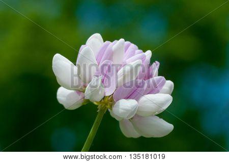 Closeup Macro shot of a Clover Flower.
