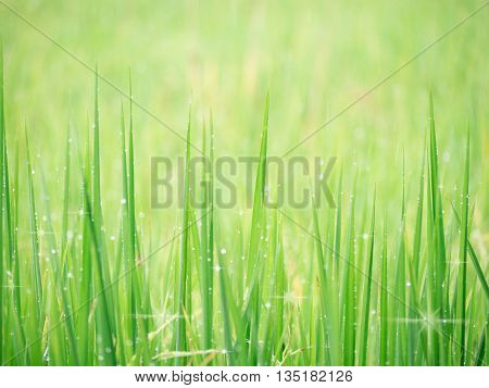 Soft Background Image Water Dew On Grass In Field.