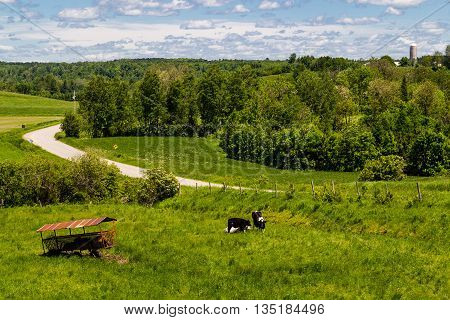 Holstein Friesians cattle breed in the pasture.