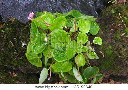 Green mini Begonia with pink floral in garden