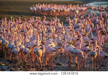 Magnificent birds forage in shallow waters in the Atlantic Ocean. Flock of pink flamingos in Namibia