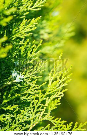 Leaves of pine tree Thuja, yellow and green background.