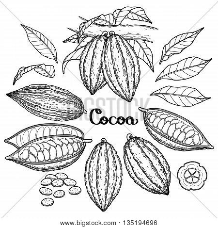 Graphic cocoa fruit collection isolated on white background. Vector exotic cacao plants. Coloring book page design for adults and kids