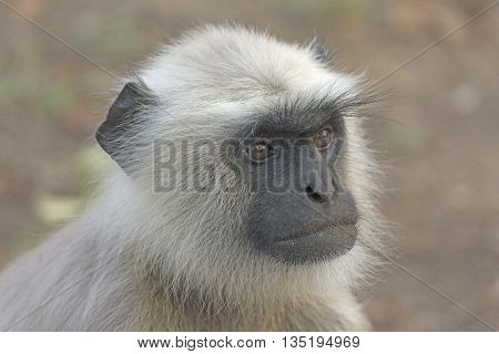 Close up of a Langur in Kanha National Park in India