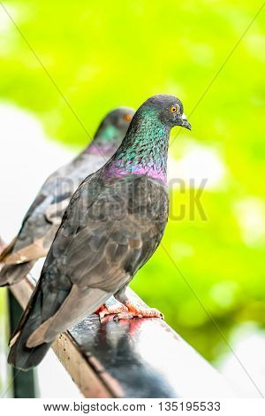 closeup marcro colorful pigeon hold on a handrail