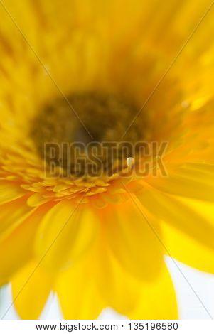 Yellow Gerber Daisy up close in macro mode