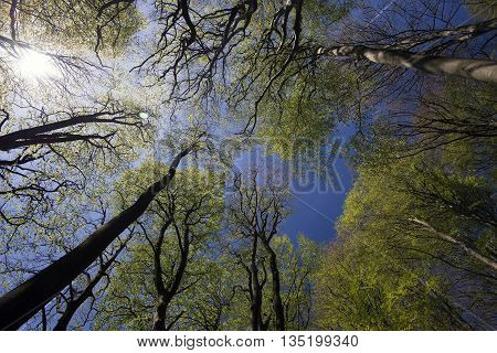 Springtime in a Danish forest - Light green beech leafs all over.View from below.